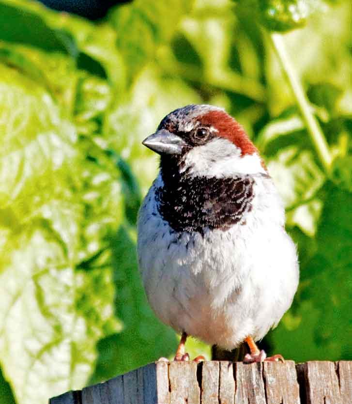 Englishsparrow