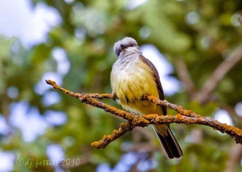 Kingbird1
