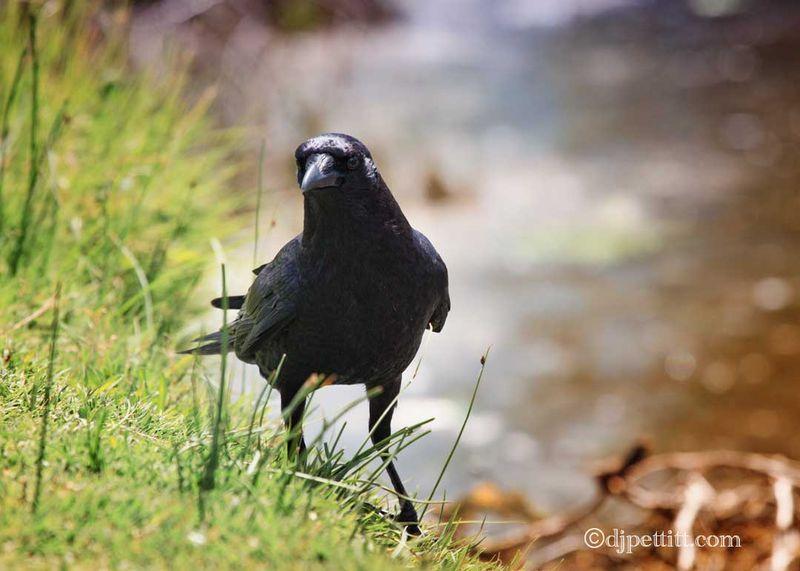 Crow5